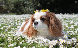cavalier king lilli