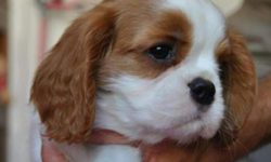 comprare cavalier king