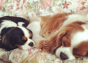 cavalier king comprare