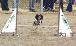 cavalier king tricolore agility