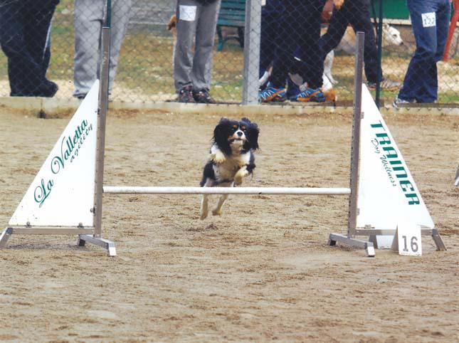 cavalier king tricolore agility