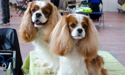 Cavalier King Timmy e Sugar