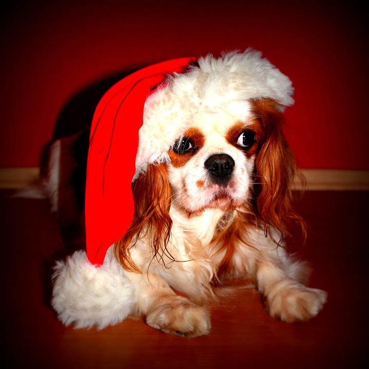 Cavalier King Natale