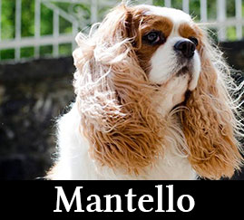 Mantello Cavalier King