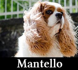 Mantello Cavalier King