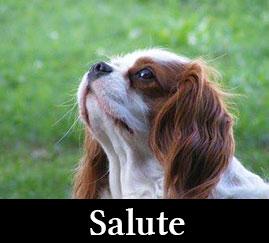 Salute Cavalier King