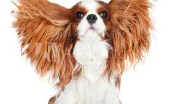 cavalier king blenheim orecchie lunghe