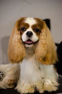 cavalier king blenheim