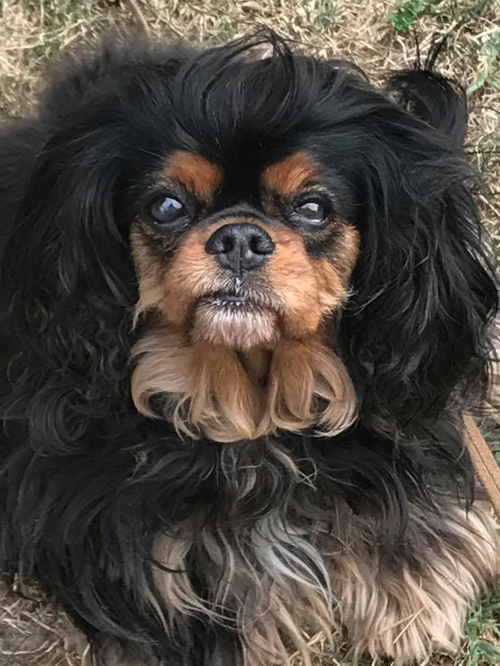 cavalier king black and tan